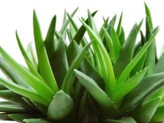 Benefits of Aloe Vera for Skin